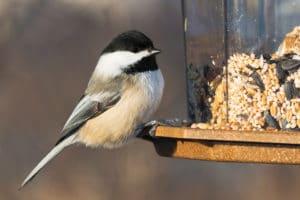 Chicadee at bird feeder
