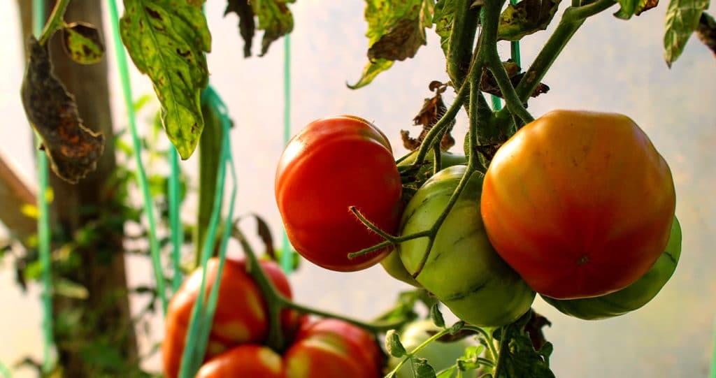 Popular tomato varieties enhance any garden experience